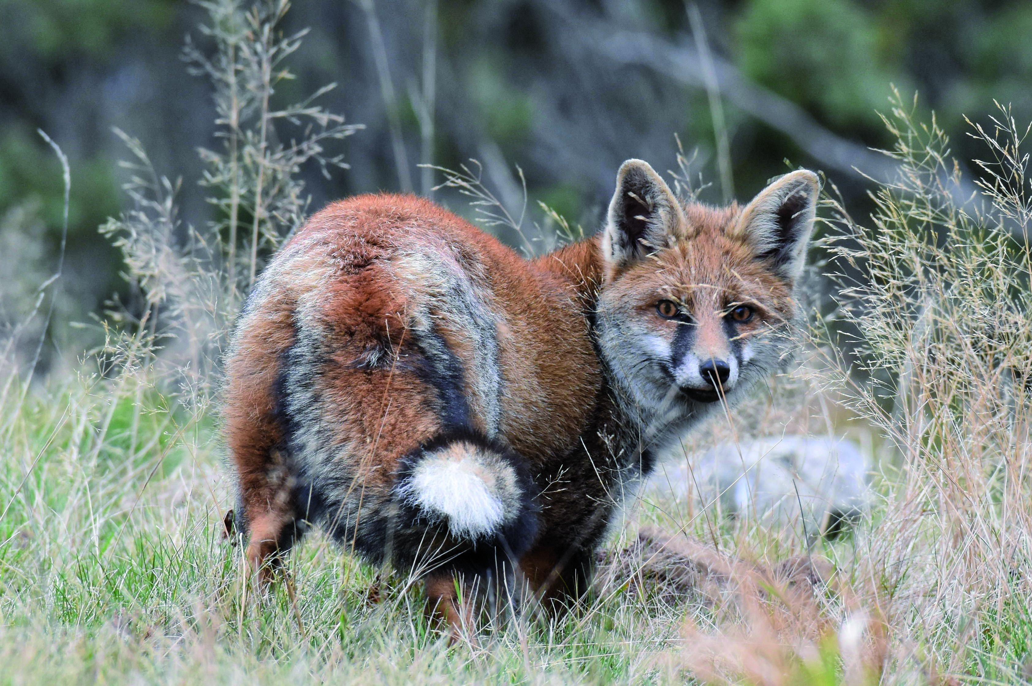 16-renard-aux-poils-roux-noirs-et-cremes-bien-visibles-benoit-lott